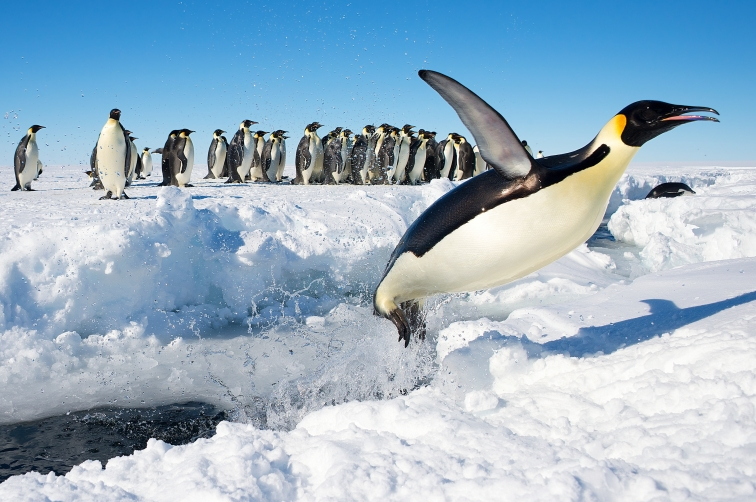 penguin_in_antarctica_jumping_out_of_the_water